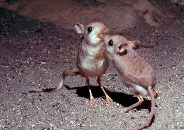 В целом , тушканчикам не грозит исчезновение, исключением является один подвид — сумчатый тушканчик