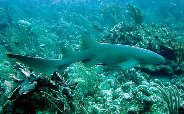 Акулы-няньки неторопливы и охотятся в ночное время суток