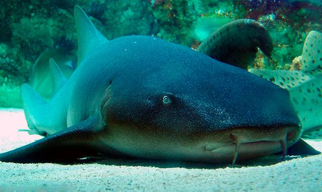 Усатая акула или акула-нянька