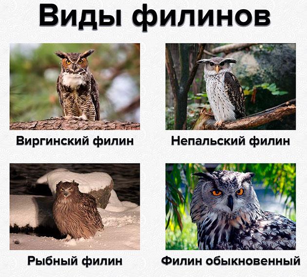 На сегодняшний день известно четыре вида филинов