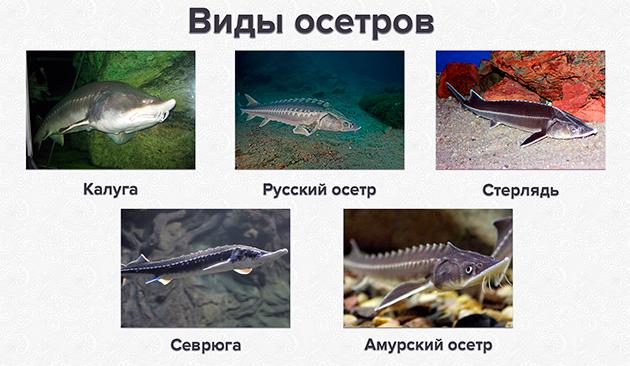 На сегодняшний день в России распространены 5 видов осетров
