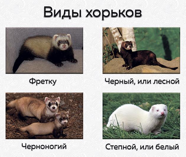 На сегодняшний день известно 4 вида хорьков