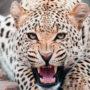 Ягуар (Panthera onca)