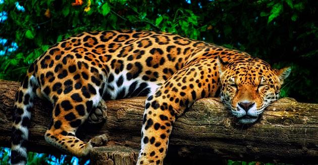Ягуар — ночной хищник, а днем предпочитает отдыхать и копить силы на ночную охоту