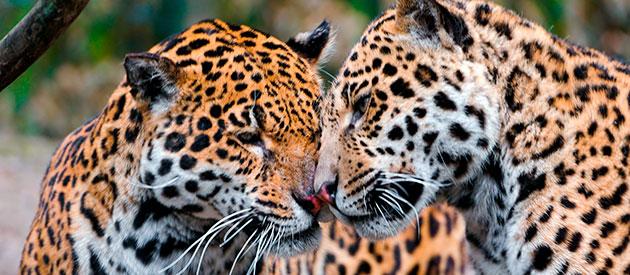 Из-за красивой шкуры ягуаров массово истребляли, что сейчас этот вид находится на грани вымирания и занесен в международную красную книгу