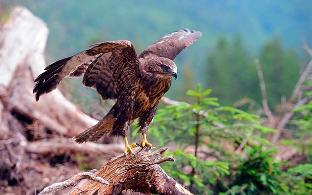 Для ястреба, не считая человека, самыми опасными врагами в воздухе являются более крупные птицы, а на земле большинство хищников