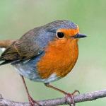 Птица зарянка или малиновка