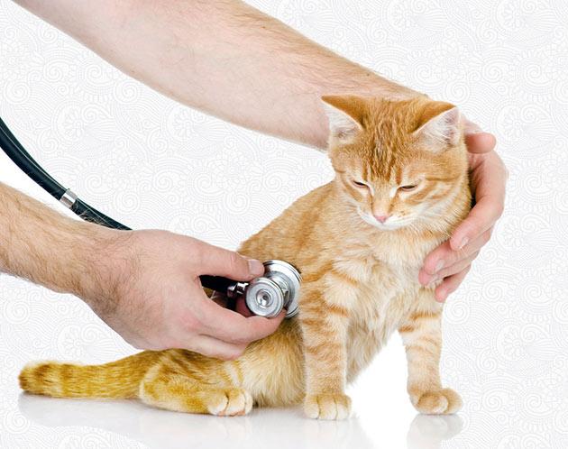 При первичном осмотре, ветеринар слушает легкие кошки на предмет свистов и хрипов