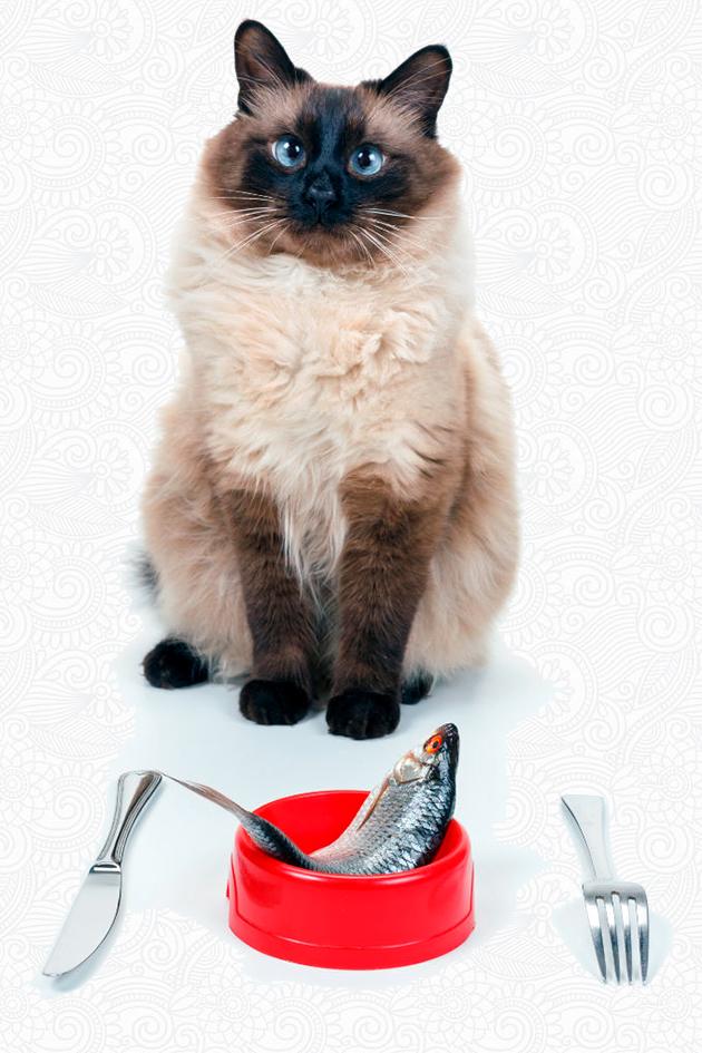 Балийскую кошку можно кормить и готовой пищей и покупными кормами