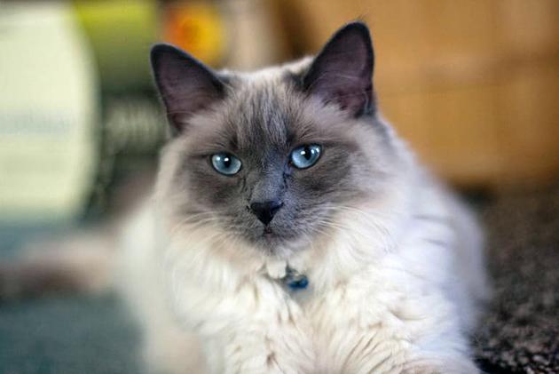 Ухаживать за балинезейской кошкой не сложнее, чем за обычной