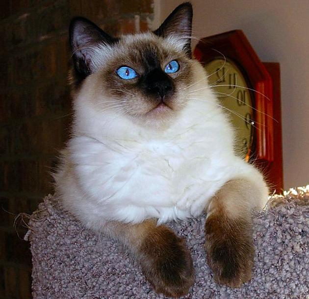 Владельцы балийских кошек отмечают спокойный характер и острый ум своих питомцев