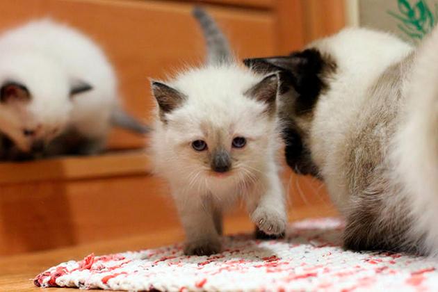 Котенок балинеза, у официальных заводчиков, продается в возрасте не ранее 3 месяца