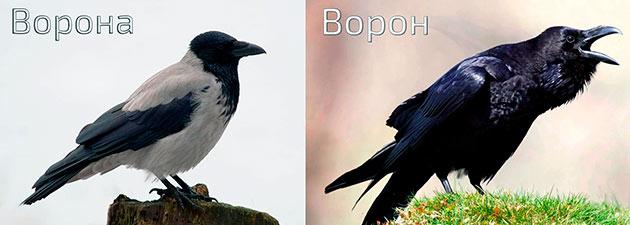 Ворон и ворона – два различных вида, относящиеся к одному семейству – врановых