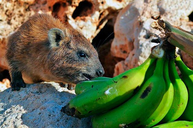 Даман всеядный и может есть как растительную, так и животную пищу
