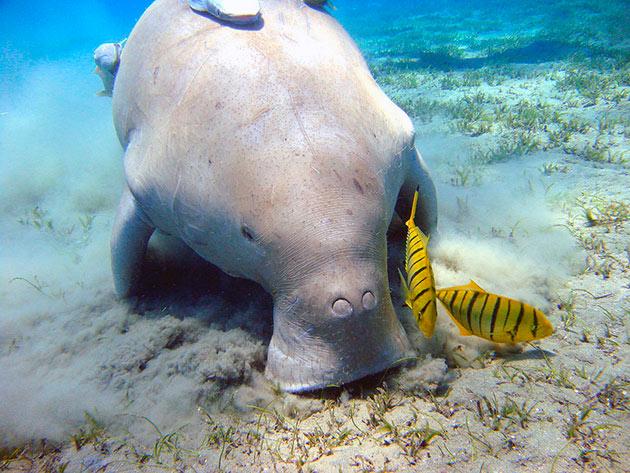Дюгонь (лат. Dugong dugon)