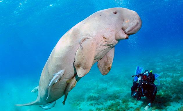 Дюгоню грозит опасность от крупных видов акул, косаток