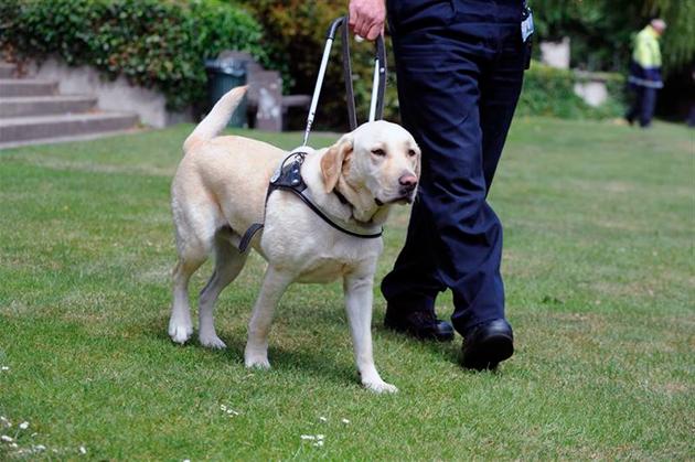 Обучение собаки-поводыря разбита на два блока: общая и специальная дрессировка