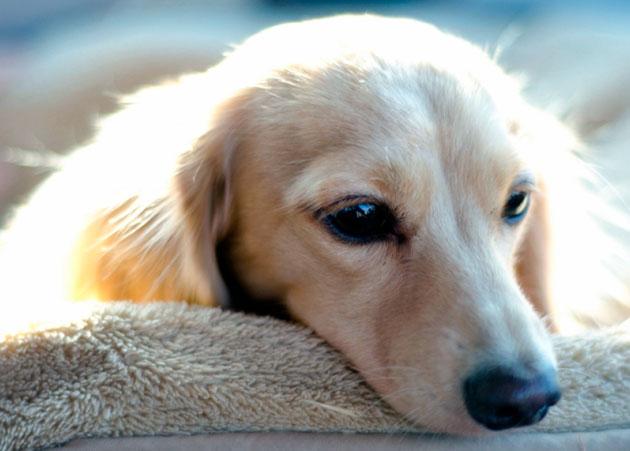 Энтерит у собаки