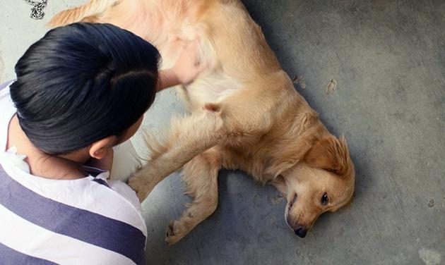Самым тяжелым проявление эпилепсии у собаки является эпилептический приступ