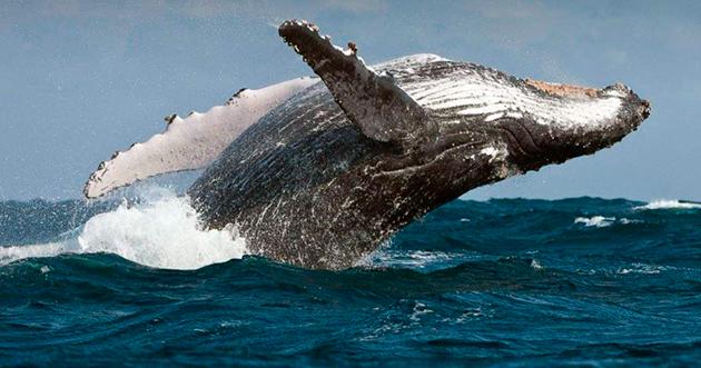 Активный промысел и болезни — основные факторы уменьшения популяции китов