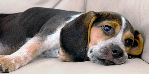 Симптомы глистов у собаки проявляются в зависимости, какие гельминты завелись у питомца