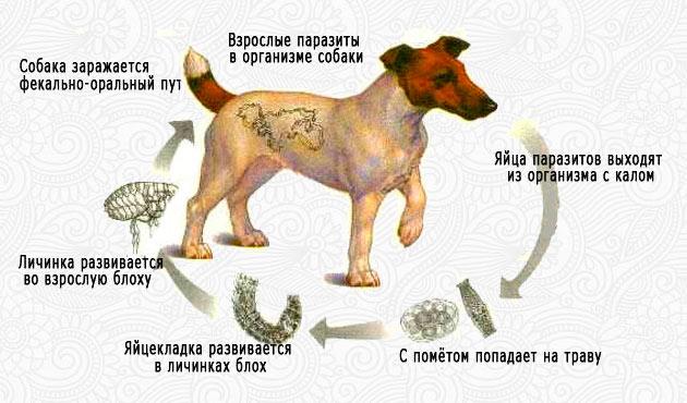 Глисты у собаки - гельминтоз