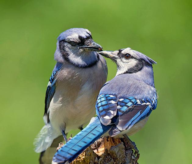 За один раз самка голубой сойки откладывает от двух до семи яиц