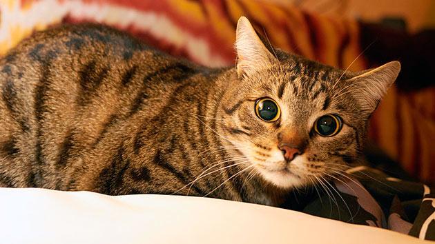 Европейские короткошерстные кошки абсолютно не капризны и не прихотливы