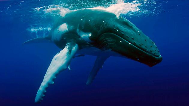 Кашалоты настоящие путешественники среди китов, их ареал обитания самый обширный