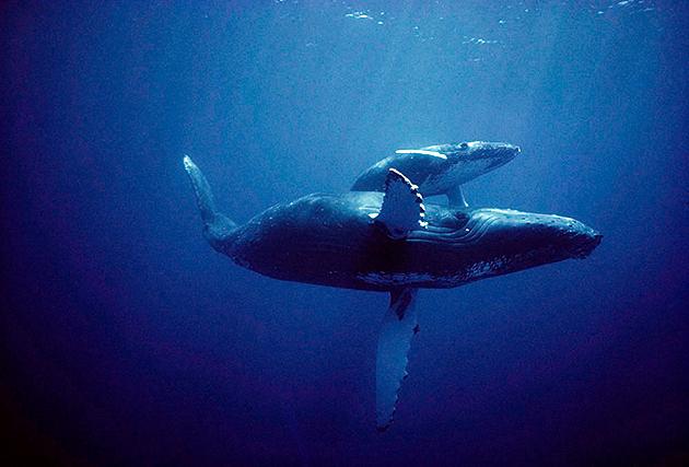 Новорожденные киты весят до 100 килограммов