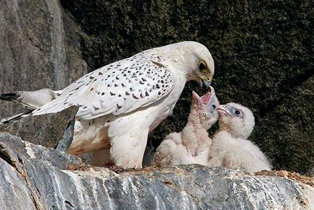 Самка кречета не покидает гнездо и высиживает яйца, в то время, как самец занимается поиском пищи