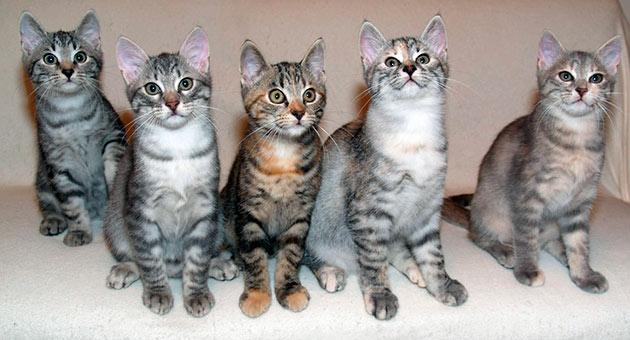 Кельтская кошка не особо актуальна для разведения, потому что они очень похожи на дворовых кошек
