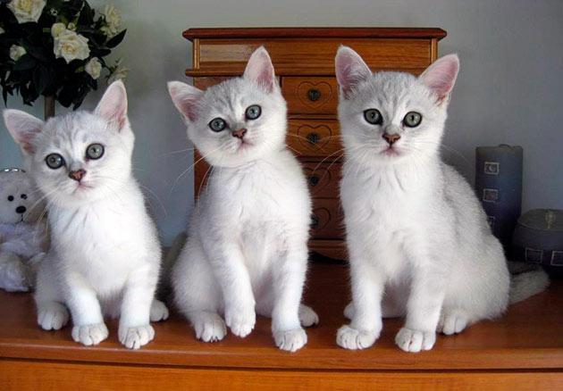 При покупке котенка бурмиллы обратите внимание на его внешний вид и активность