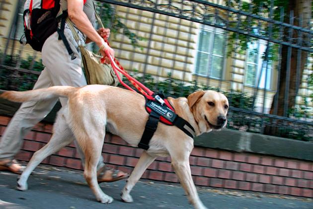Лабрадор ретривер идеально подходит в роли собаки-поводыря