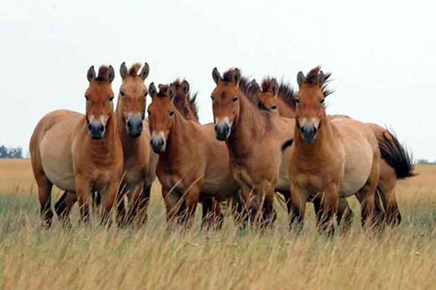 Лошадь Пржевальского старается держаться в подгорных районах