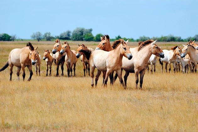 Благодаря титаническим усилиям популяцию лошадей Пржевальского удалось сохранить