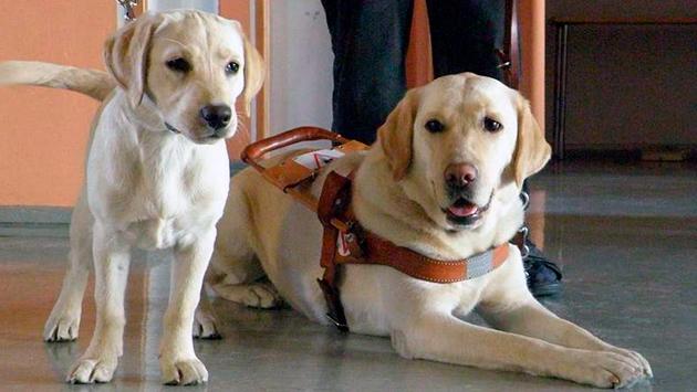 Существуют ограниченное количество собак, которые лучше обучаются на роль собаки-поводыря