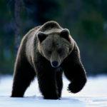 Медведи (лат. Ursidae)
