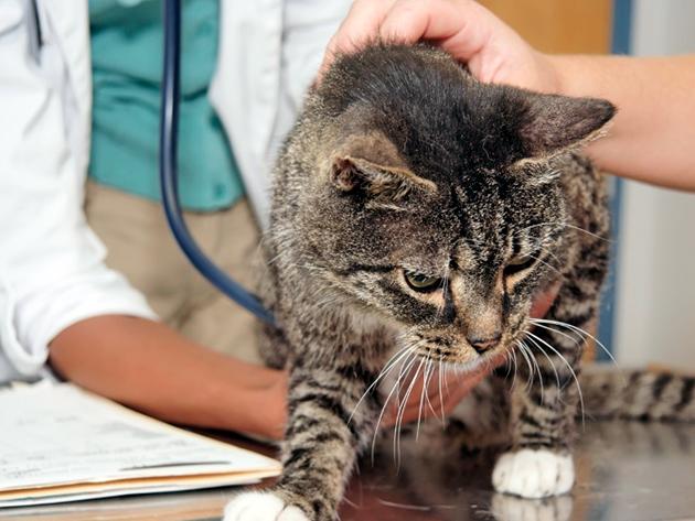 В группе риска заболеть микоплазмозом кошки с пониженным иммунитетом и котята возрастом до двух лет