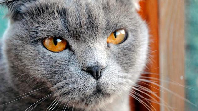 Микоплазмоз от кошек человеку