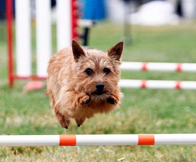 Терьеры очень активны собаки, что требует соответствующих физических нагрузок