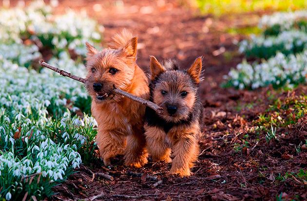Норвич-терьер очень дружелюбная, добрая и веселая собака