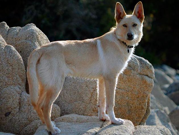Суки ханаанской собаки значительно уступают в габаритах самцам
