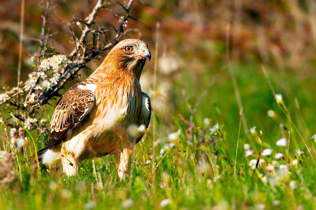 Ареал орлов широк и напрямую зависит от его вида