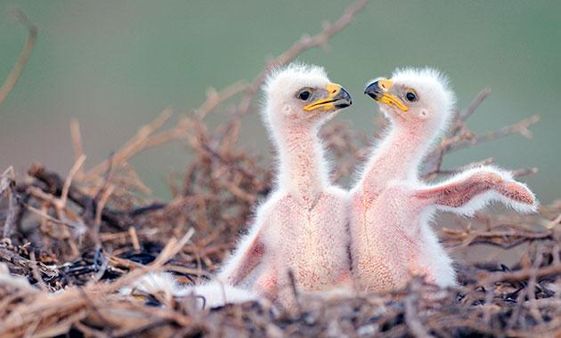 Птенцы орлов обладают драчливым характером