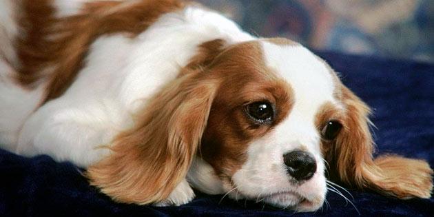 Замкнутость, вялость, отказ от прогулок могут являться признаками пиометры у собаки