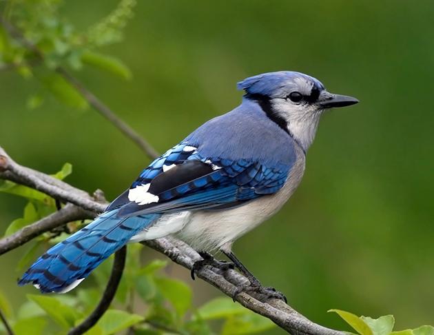 Родиной голубой сойки, является североамериканский континент