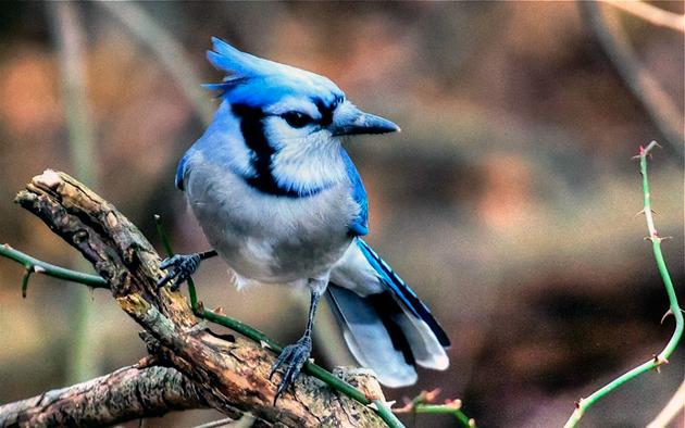 Птица голубая сойка