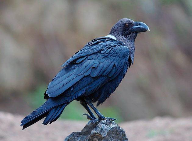 На сегодняшний день, ворон получил распространение в северном полушарие