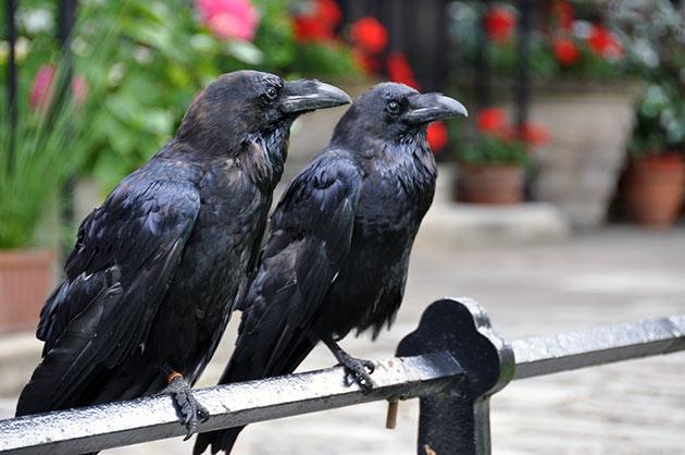 Издревле из-за суеверий воронов истребляли, но сейчас эта птица взята под охрану